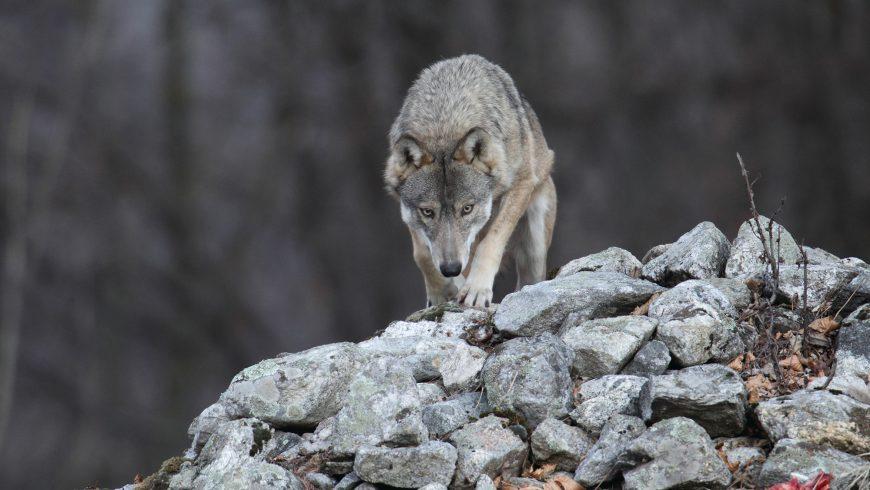 Azioni per la tutela di orso e lupo