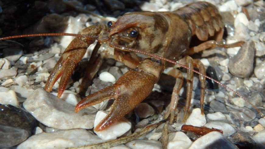 Actions for freshwater crayfish conservation