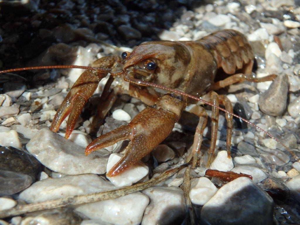 Tutela gambero di fiume: completato elenco enti gestori Natura 2000 impegnati