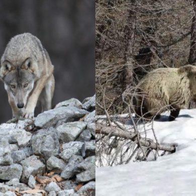 Orso e lupo tornano sulle Alpi. Li conosci? Cosa ne pensi? Partecipa al sondaggio
