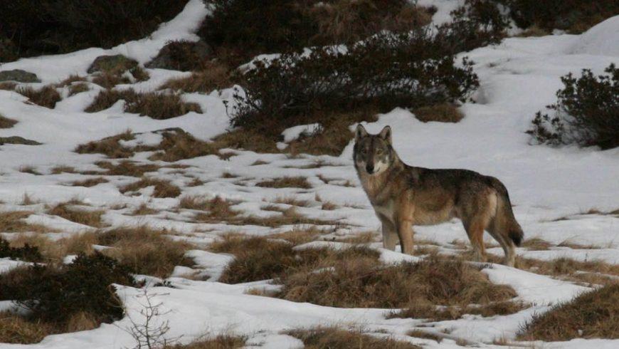 Il ritorno dei grandi carnivori sulle Alpi – Berzo Demo (BS)