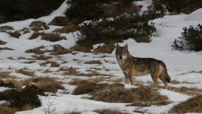 Due lupi salvati in Lombardia, ora al CRAS Monte Adone