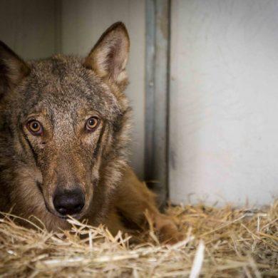 La storia del lupo Ambrogio e della lupa Diana