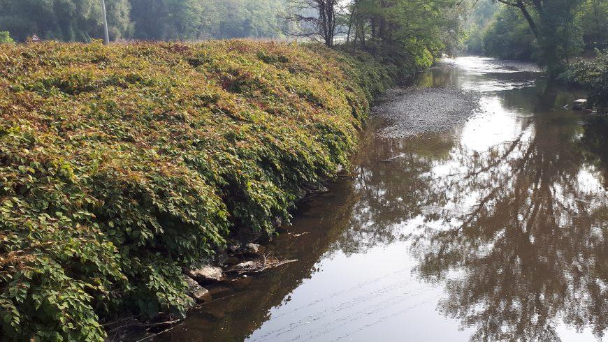 """200mila euro di contributi regionali per interventi di contrasto della specie vegetale invasiva """"poligono del Giappone"""""""